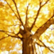 Castanheiras - Chestnunt trees